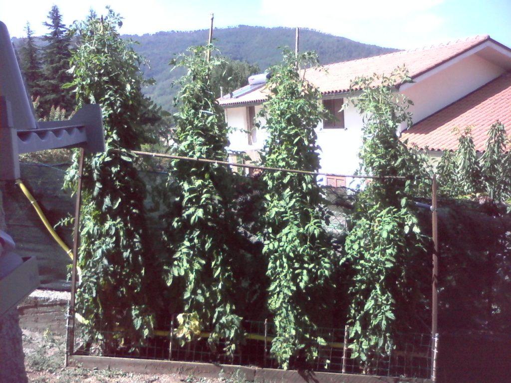 piante di pomodoro tondo