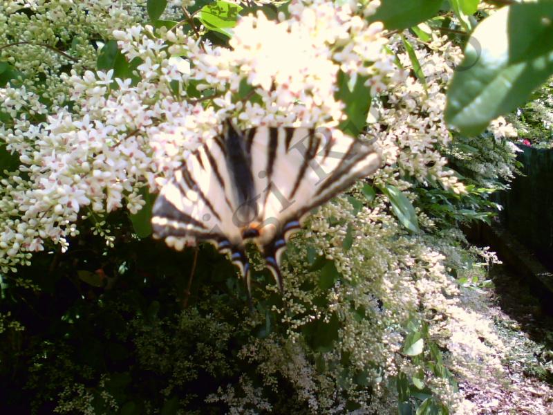 Farfalla bellissima
