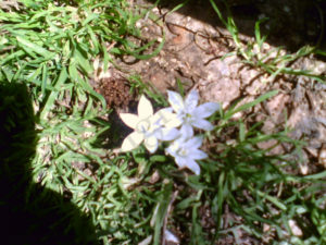 fiore a forma di stella