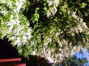 Siepe in fiore